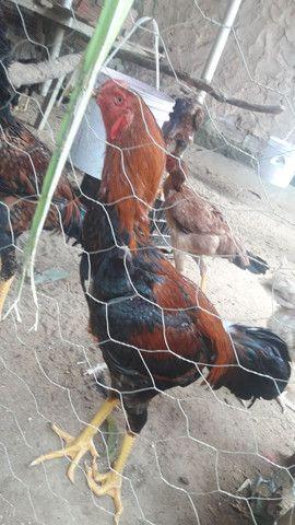 Vendo potinho da raça indo gigante sangue corvo sumô dois meses - Foto 4