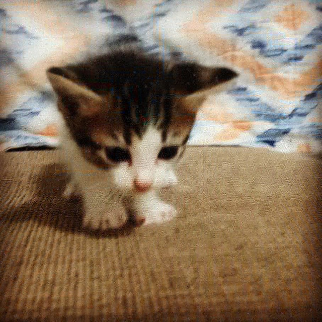 Gatinhos filhotes para adoção