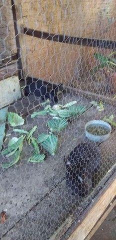 2 coelho  - Foto 3