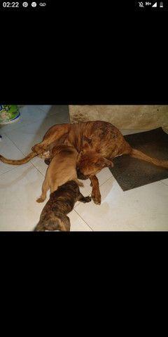 Filhote de cachorro, raça Boxer - Foto 4