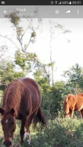 Cavalo Criolo - Foto 4