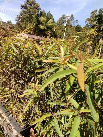 Mudas de eucalipto Citriodora - Foto 2