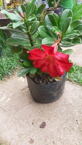 Plantas ornamentais  - Foto 3