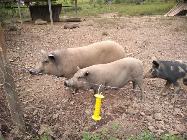 Vendo porcos caipira ( varios tamanhos)