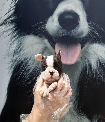 Bulldog Francês Vacinados e Vermifugados!