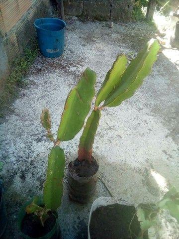 Mudas pitaya vermelha - Foto 3