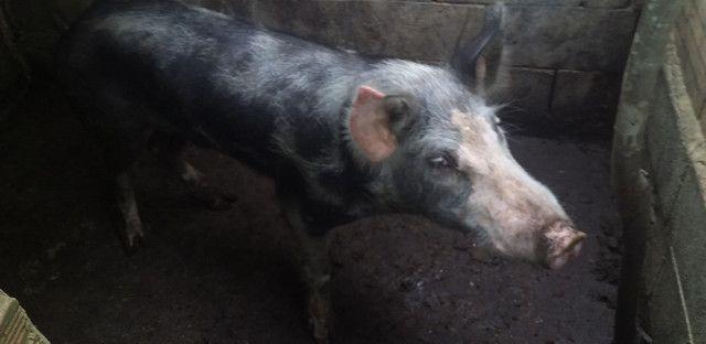 Vendo casal de porcos - Foto 2