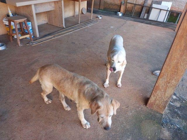 Labrador - Doação  - Foto 3