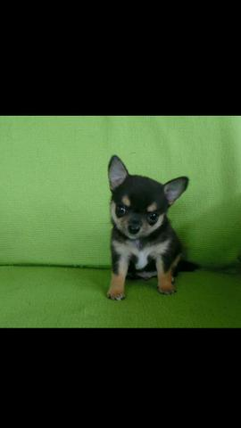 Chihuahua macho miniatura
