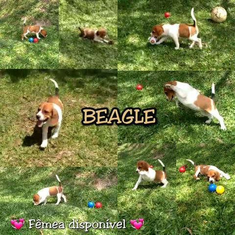 Última Filhotinha de Beagle - 65 dias (Pronta Entrega)
