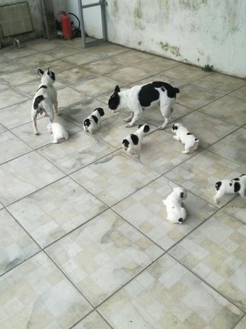 Filhotes de Bulldog Francês!! - Foto 6