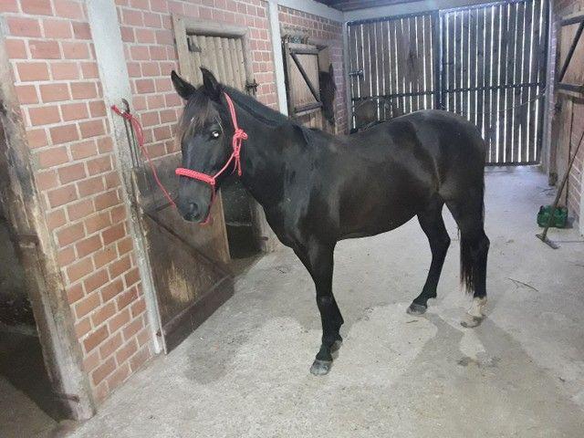 cavalo de laço - Foto 2