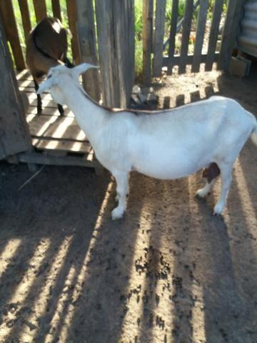 Vendo um bode e uma cabra prenha