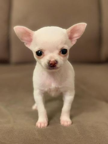 Chihuahua os mais perfeitos Cores raras Whats 054999346363 - Foto 2