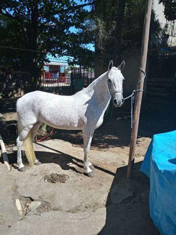 Égua M.Marchador  - Foto 2