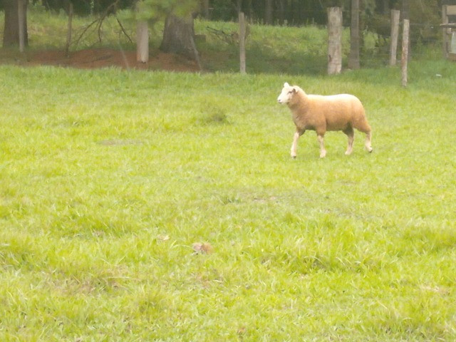 Ovelha Macho Burrego Texel - Foto 3