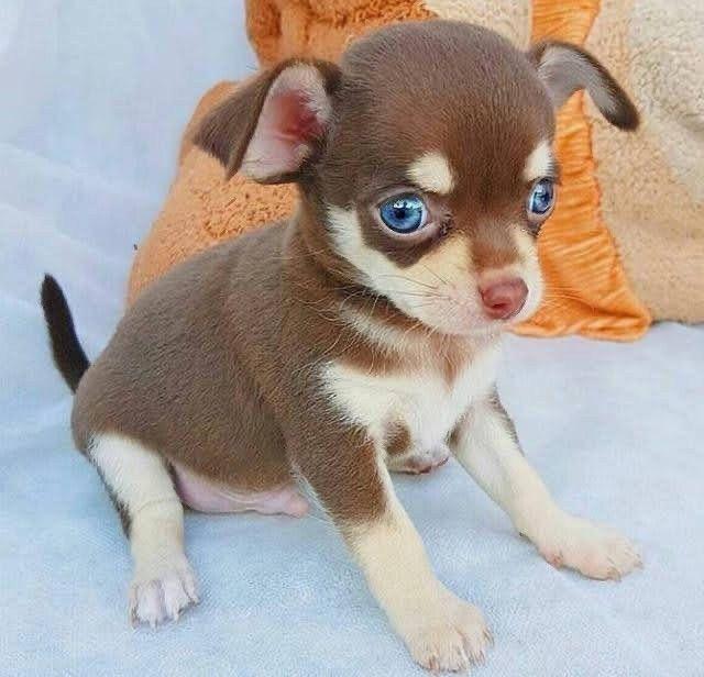 Chihuahua pelo longo  - Foto 2