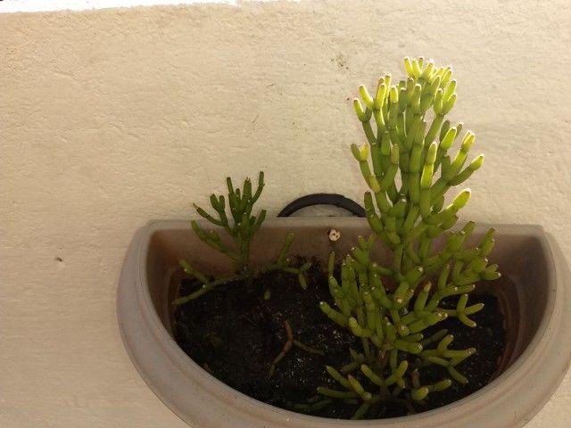 Suculenta Cacto Rhipsalis Hatiora Cylindrica - Foto 3