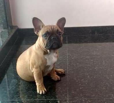 Vendo ou troco Bulldog francês com 10 meses
