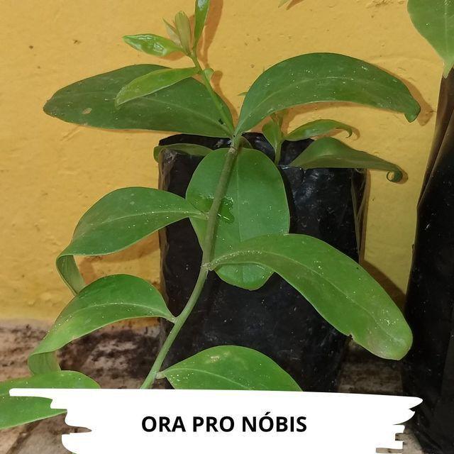 Mudas de Ora Pro Nobis - Foto 3