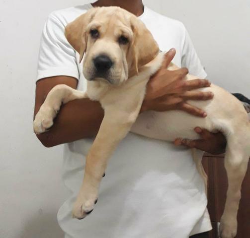 Filhote de Labrador (fêmea)