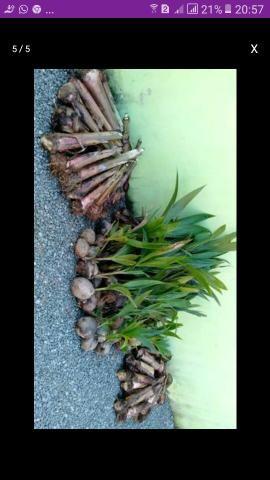 Mudas de coco anão banana da terra e alguns cítricos