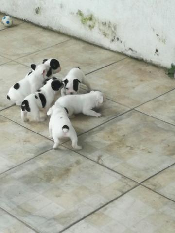 Filhotes de Bulldog Francês!! - Foto 2