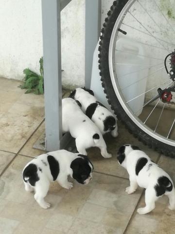 Filhotes de Bulldog Francês!! - Foto 5