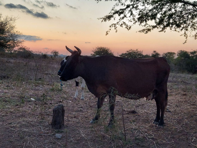 5 Vacas  - Foto 3