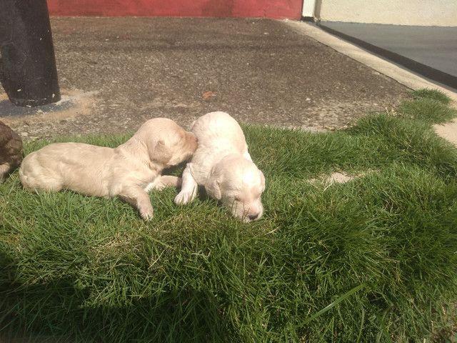 Vendo fêmea e macho de poodle toy