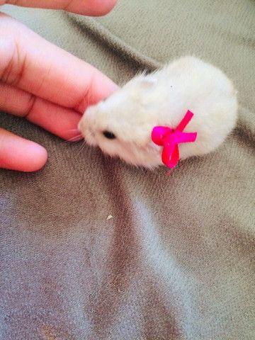 Hamster anão 35,00 cada - Foto 4