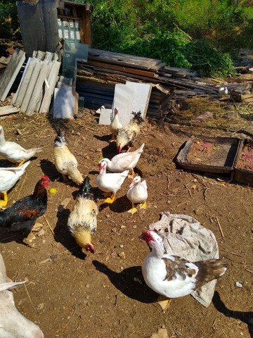 Patos novos a venda - Foto 4