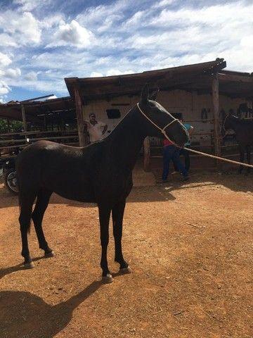 Égua Preta Marcha Mangalarga Marchador Nova Domada Super Dócil  - Foto 6