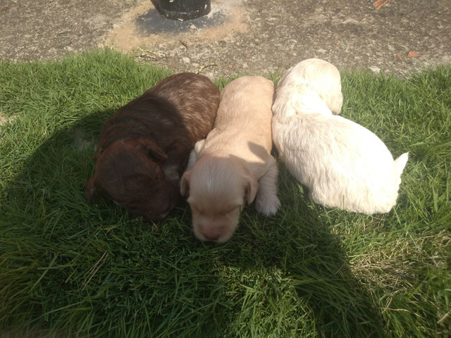 Vendo fêmea e macho de poodle toy  - Foto 3