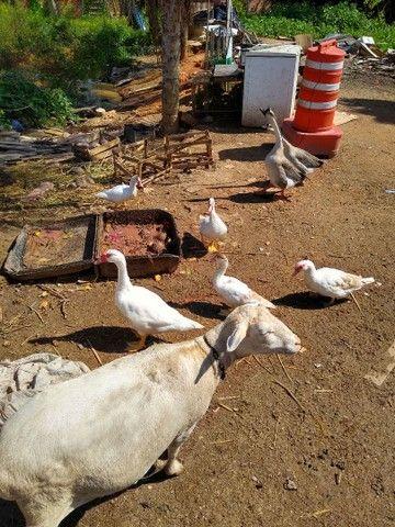 Patos novos a venda - Foto 5