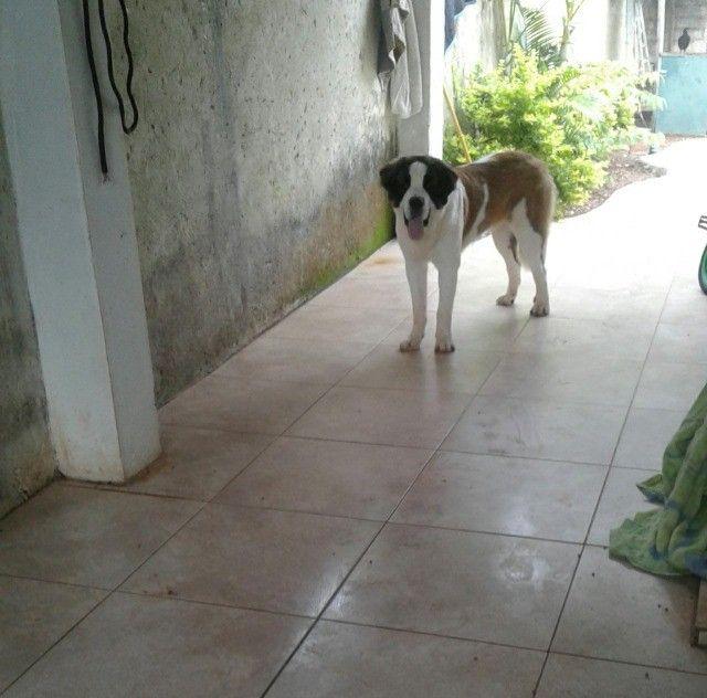 Cachorra são Bernado prucuro namorado;) - Foto 4