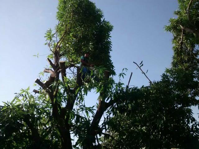 Serviço de corte de árvores