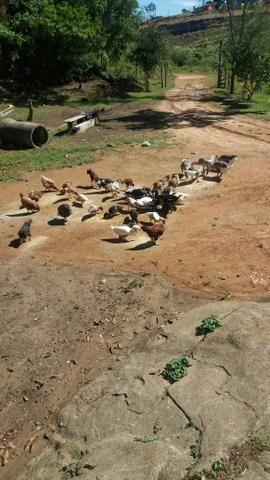Vendo patos , Marrecos gansos e galinhas