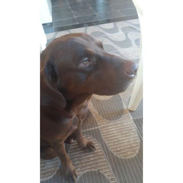 Labrador procurando uma Fêmea para namorar  - Foto 4