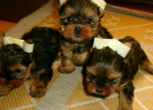 Filhotes de Yorkshire Mini Terrier