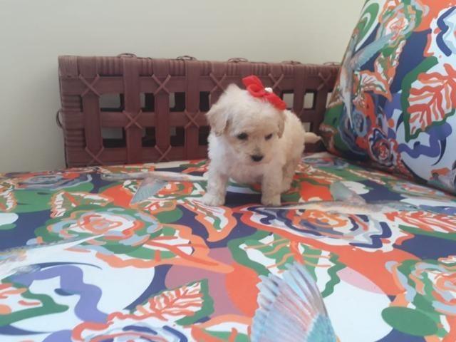 Poodle Mini Toy Machos e Fêmeas (11) 94320.6743