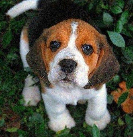 Beagle fêmea e macho disponíveis com garantias - Foto 2