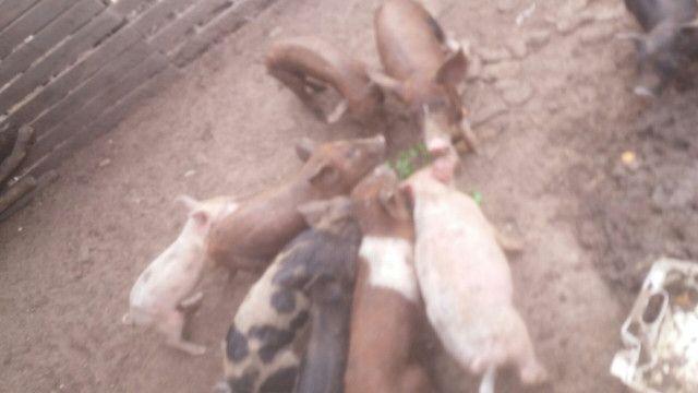 Vendo porcos  - Foto 2