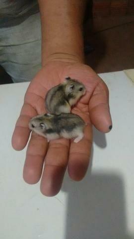 Filhote de hamster anão russo disponível
