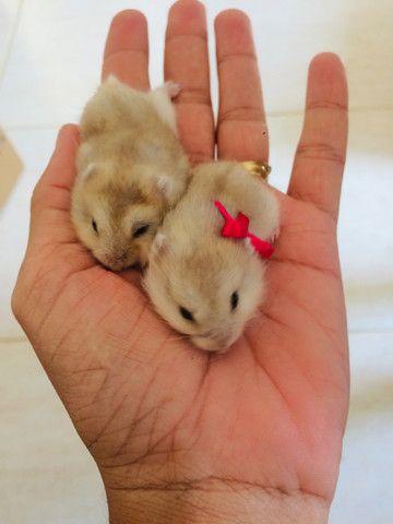 Hamster anão 35,00 cada - Foto 5