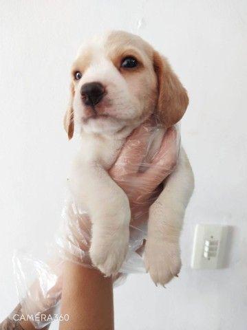 Beagle fêmea e macho disponíveis com garantias