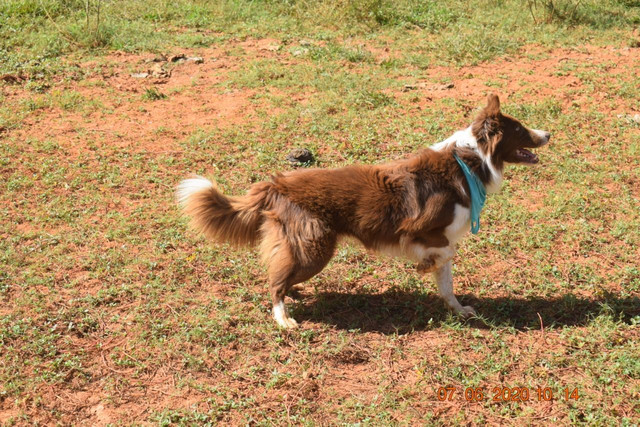 Filhotes de Border Collie com pedigree - Foto 3