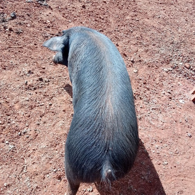 Porco kg - Foto 2