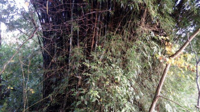 Vendo moitas de bambum - Foto 2