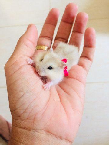 Hamster anão 35,00 cada - Foto 3